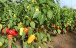 Кладезь витаминов – болгарский перец. Выращивание