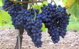 Виноград Монарх. Характеристики растения: внешний вид, плоды