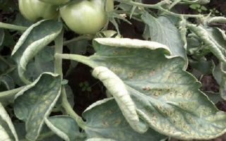 Паутинный клещ на томатах