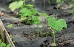 Мучнистая роса на огурцах. Как уберечь растения от заболевания