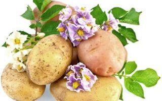 Как сертифицировать картофель?