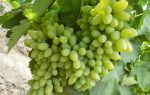 Виноград Тимур. Описание и характеристики. Отзывы виноградарей о сорте