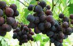 Виноград Рошфор. Размножение и посадка, нюансы полива, обрезки и удобрения
