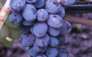 Виноград Юпитер. Размножение и посадка винограда, нюансы полива, обрезки и удобрения
