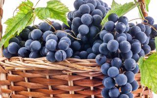 Виноград Молдова: урожайность, вкус ягод, параметры куста. Размножение и посадка