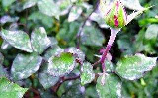 Мучнистая роса на розах и других цветах