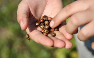 Колорадский жук: история появления, характеристика и методы борьбы