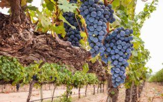 Виноград Саперави Северный. Уход, выращивание, болезни и вредители сорта