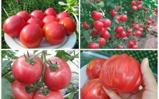 ТОП-9 лучших сортов помидоров или томатов
