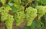 Виноград Ландыш: популярный столовый сорт. Особенности выращивания, уход и обрезка