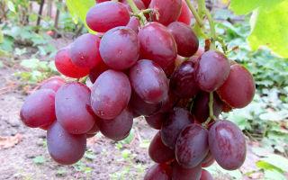 Виноград Ливия: история сорта. Подкормка, обрезка, защита от вредителей и болезней