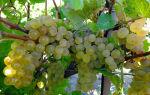 Виноград Кристалл: лучший технический сорт для средней полосы