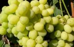 Виноград Лора. Период созревания, урожайность. Особенности ухода в течение года