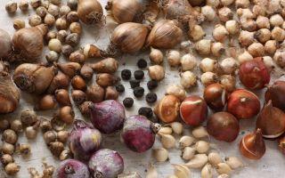 Луковицы цветов – уход, хранение и посадка