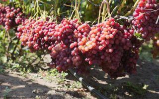 Виноград Велес. Характеристики растения: внешний вид, плоды
