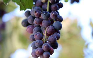 Виноград Изабелла: период созревания, урожайность. Особенности ухода в течение года