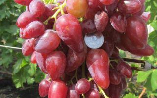Виноград Дубовский розовый: урожайность, вкус ягод, параметры куста