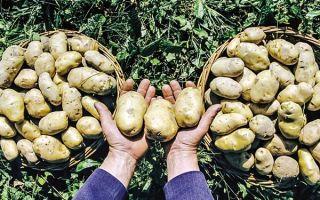 Фитофтора на картофеле. Профилактические меры по предупреждению