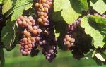 Виноград Анюта. Характеристики растения: внешний вид, плоды