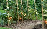 Фитофтора на помидорах. Профилактика и лечение