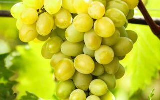Виноград Августин. Характеристики: урожайность, вкус ягод, параметры куста