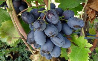 Виноград Лорано. Период созревания, урожайность. Особенности ухода