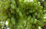 Виноград Дамские пальчики: урожайность, вкус ягод, параметры куста