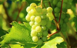 Виноград Кеша. Описание сорта, xарактеристики, уход, обрезка и удобрение