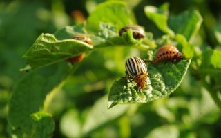 Как избавиться от колорадского жука раз и навсегда?