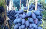 Виноград Кодрянка. Особенности сорта, сезонный уход. Отзывы о сорте