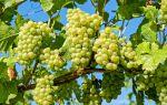 Виноград Восторг. Размножение и посадка, нюансы полива, обрезки и удобрения