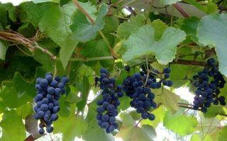 Виноград Амурский. История сорта. Размножение и посадка винограда
