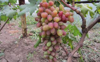 Виноград Сенсация. Описание и характеристики сорта. Болезни и вредители