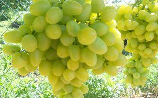 Виноград Аркадия. Особенности ухода, характеристики, отзывы садоводов