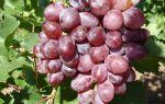 Виноград Виктория: описание сорта, уход, отзывы, видео