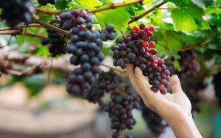 Виноград Надежда АЗОС. Описание и характеристика. Посадка и уход