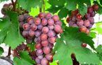 Виноград Ризамат. Описание ягод, уход и полив. Видео обзоры от садоводов