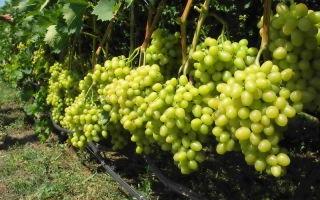 Виноград Талисман: описание и характеристика. Особенности посадки и ухода