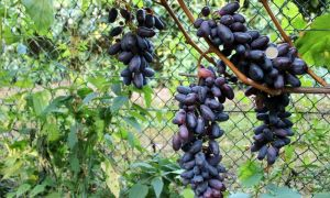 Виноград Карнавал: новый гибридный сорт
