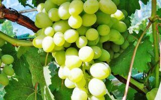 Виноград Галахад: описание и характеристики. Видео обзоры от садоводов
