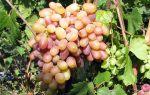 Виноград Виктор. Характеристики, размножение и посадка