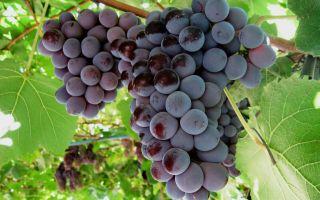 Виноград Лидия. Характеристики, особенности ухода в течение года