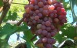 Виноград Тайфи. Характеристики растения: внешний вид, плоды