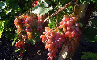 Виноград Оригинал: разновидности. Рекомендации по уходу за виноградом