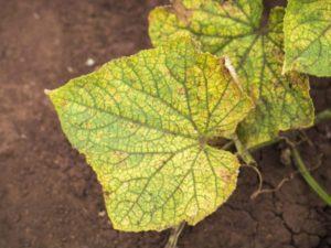 Мучнистая роса на розах: как избавиться, меры борьбы в домашних условиях на комнатных растениях
