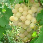Чем обработать виноград от мучнистой росы осенью