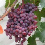 Оидиум на винограде как бороться с мучнистой росой и чем обрабатывать