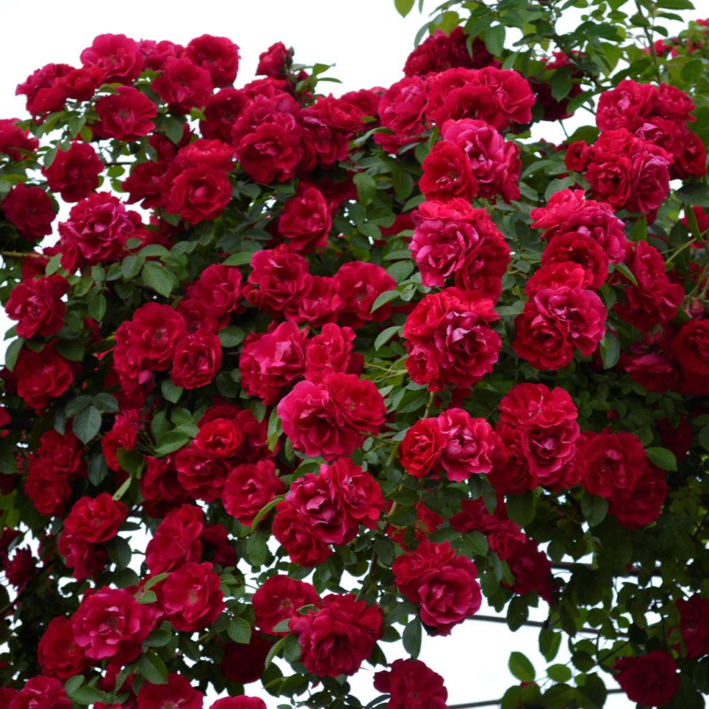 Паутина на розах как бороться народные средства