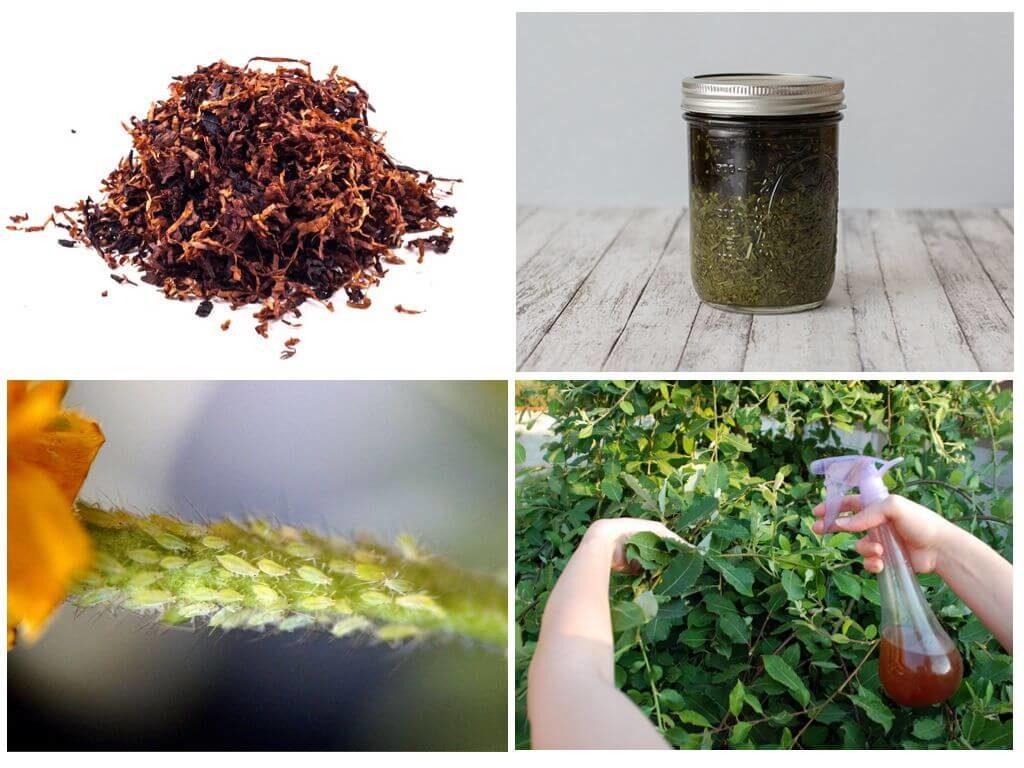 Как избавиться от бабочки белокрылки в огороде и на открытом грунте