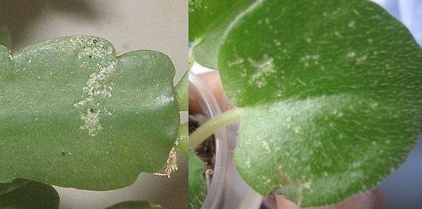 Как бороться с трипсами на комнатных растениях, фото